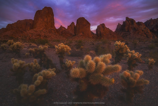 Teddy bear cholla under rugged mountain peaks at sunset in the Kofa Mountains.